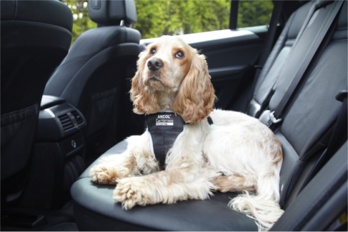 dog travelling in the car with a seat belt harness