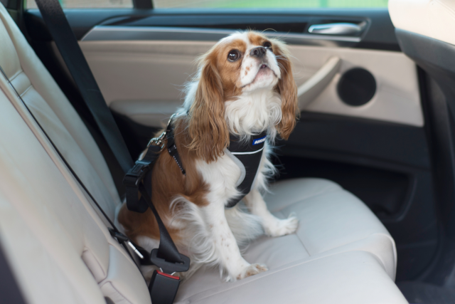 dog travelling in car with ancol harness