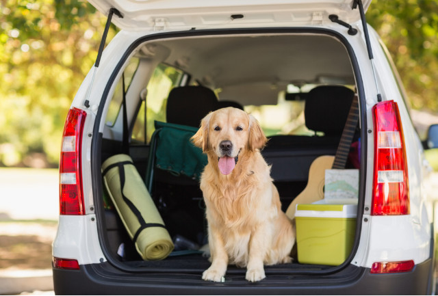 dog travelling in car sat in the boot
