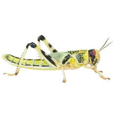 Reptile Live Food Locusts Large 10 Pack