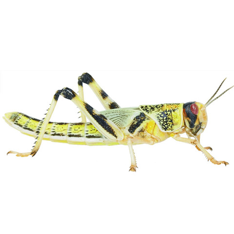 Reptile Live Food Locusts 6 Pack Adult