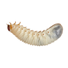 Live Food Fruit Beetle (pachnoda) Grubs 10 Pack